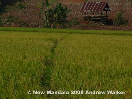 dry-season-rice.jpg