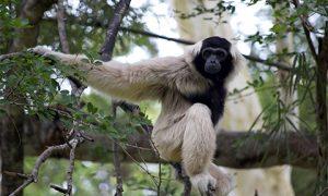 20150702-Gibbon-480