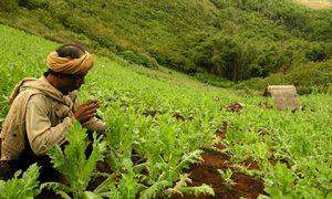 A poppy field in Myanmar. Photo: UNODC.