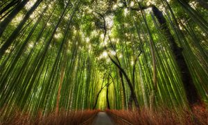 Bamboo forest. Photo: Stuck in customs on flickr https://www.flickr.com/photos/stuckincustoms/