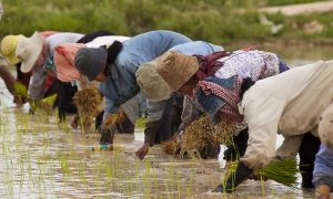 Cambodian farmers planting rice. Photo: Brad Collis/ Wikimedia commons