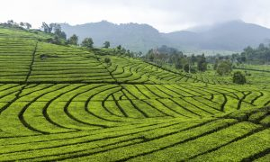 indonesia-tea-wikimedia-1024